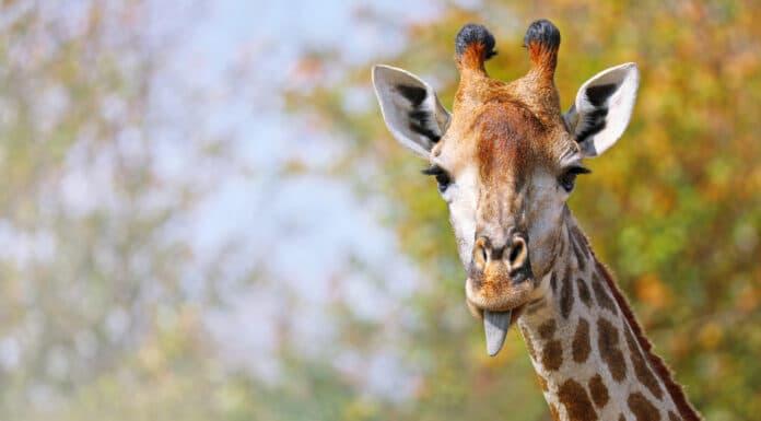 Quelle est la longueur de la langue de la girafe