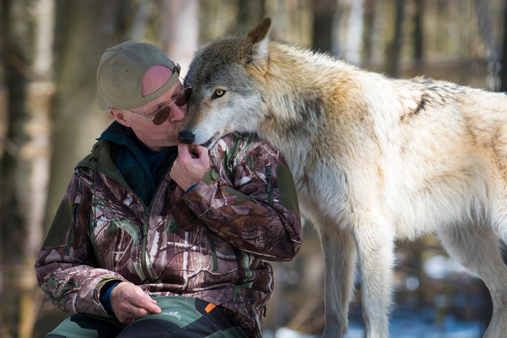 avoir un loup domestique
