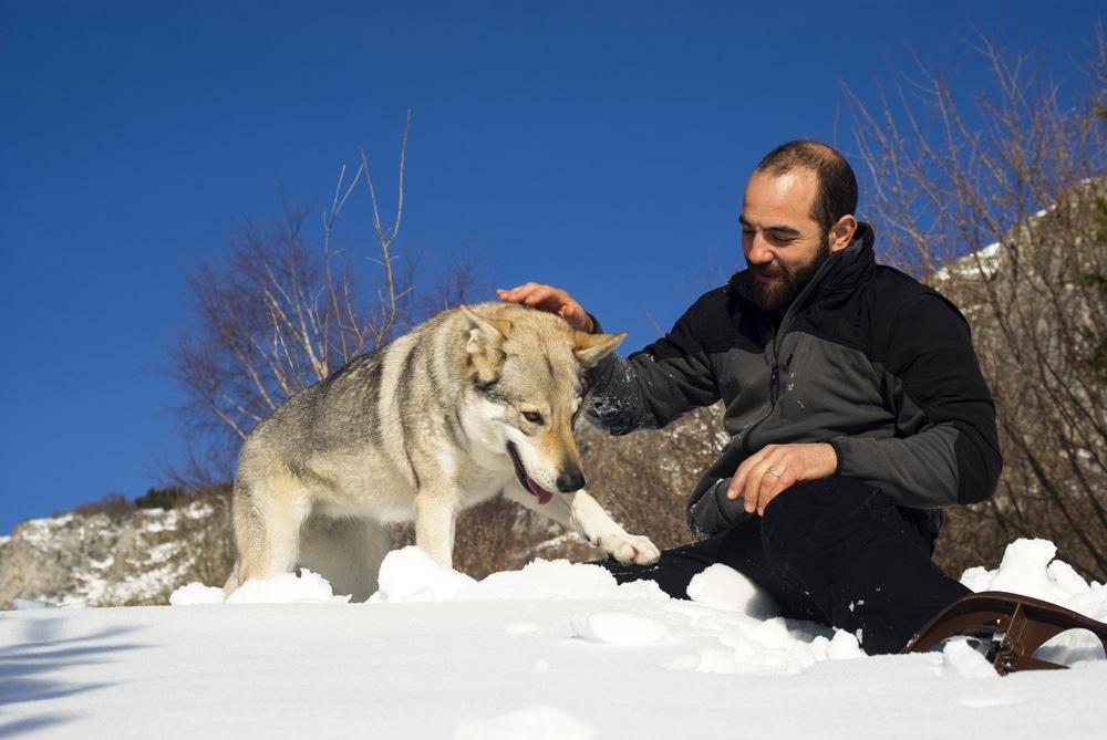 chien loup tchèque