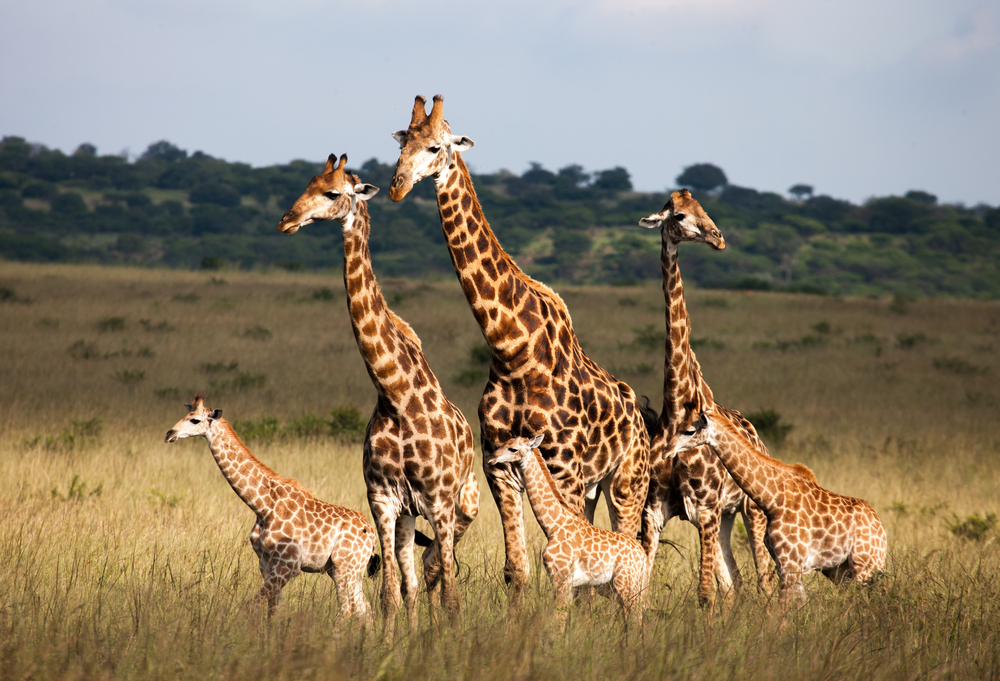 langue girafe longueur