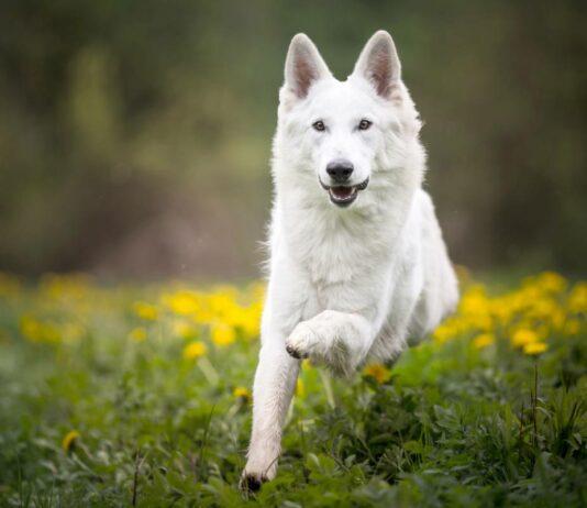 les plus beaux chiens blancs