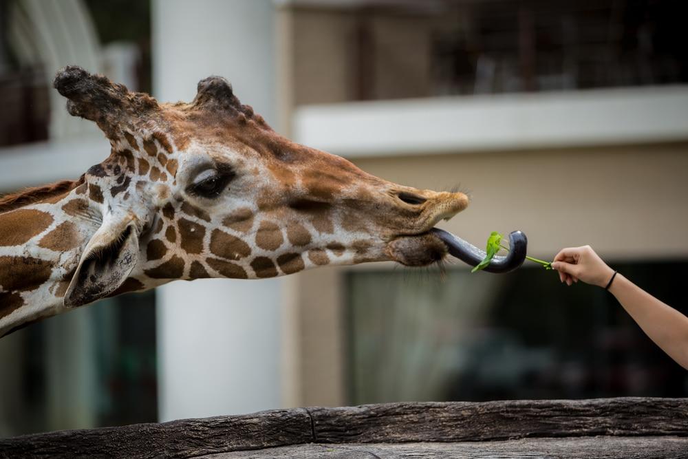 longueur langue girafe