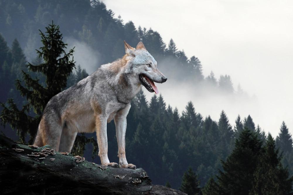 loup domestique