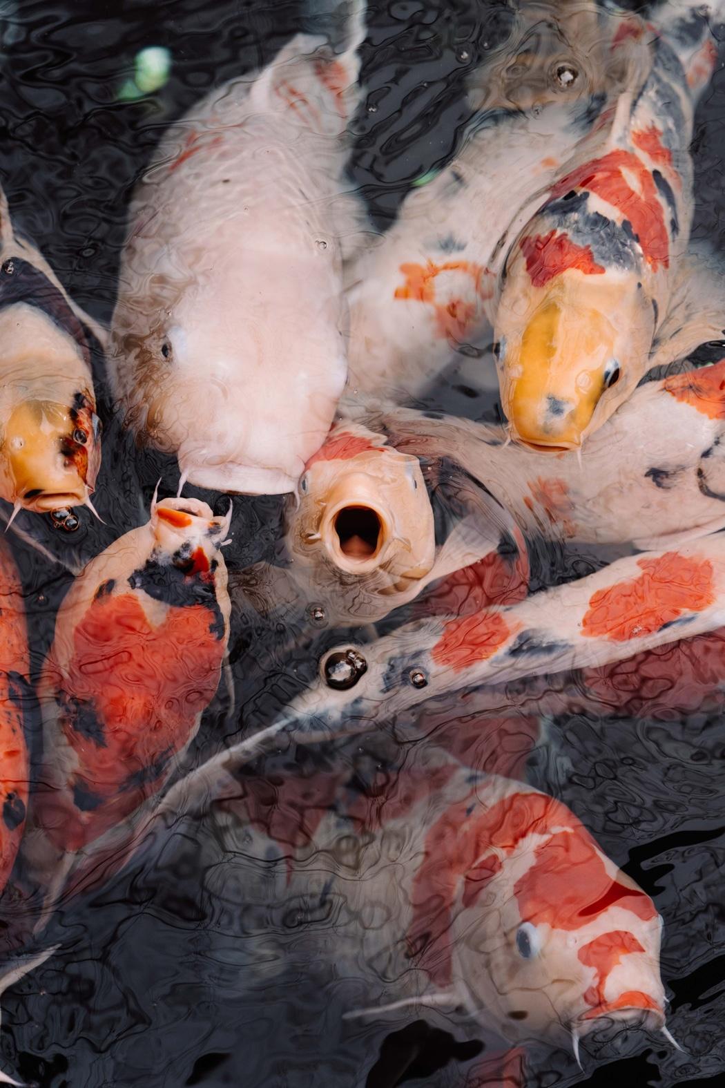 poisson de bassin carpe koi