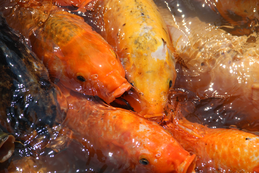 poisson de bassin tanche de mongolie