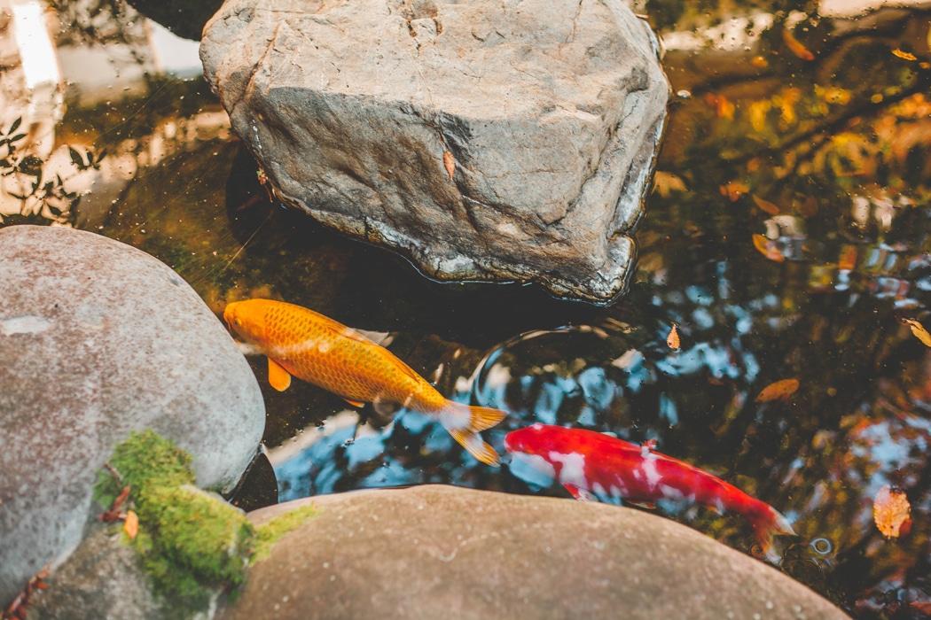 quel poisson pour un bassin