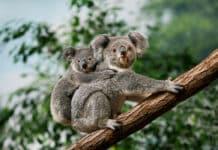 tout savoir sur le koala