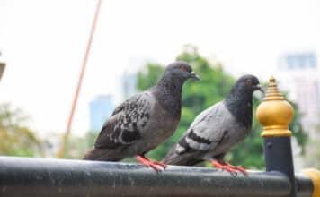 Comment faire fuir les pigeons les meilleures recettes de grand-mère !