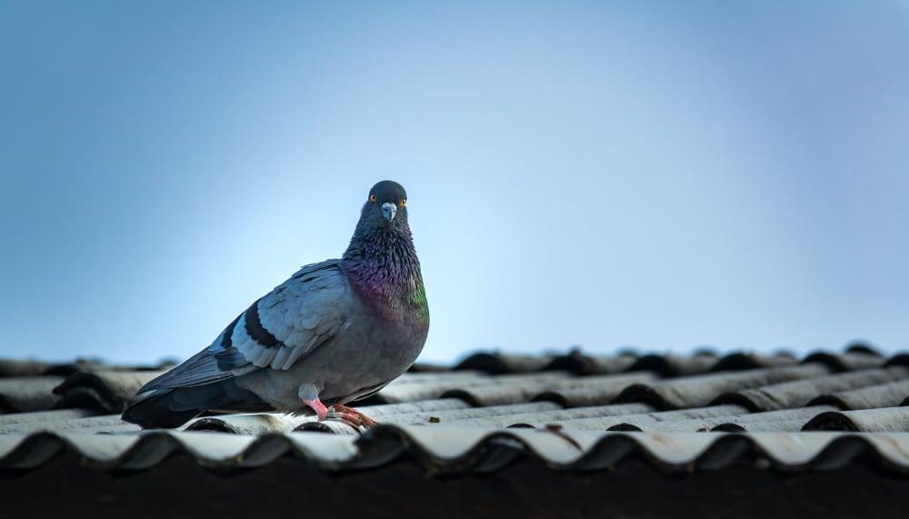 faire fuir les pigeons