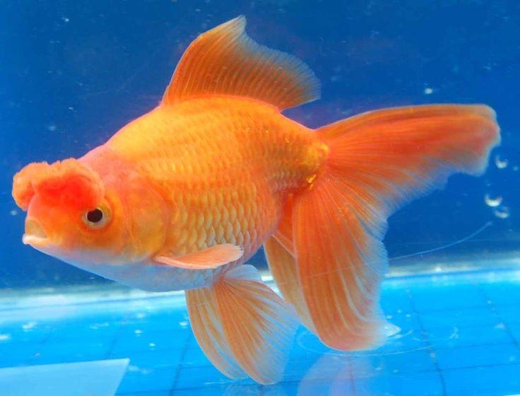 le poisson japonais pompon