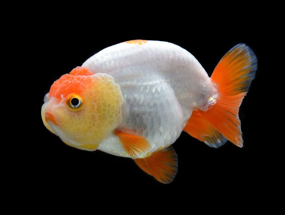 le poisson japonais ranchu