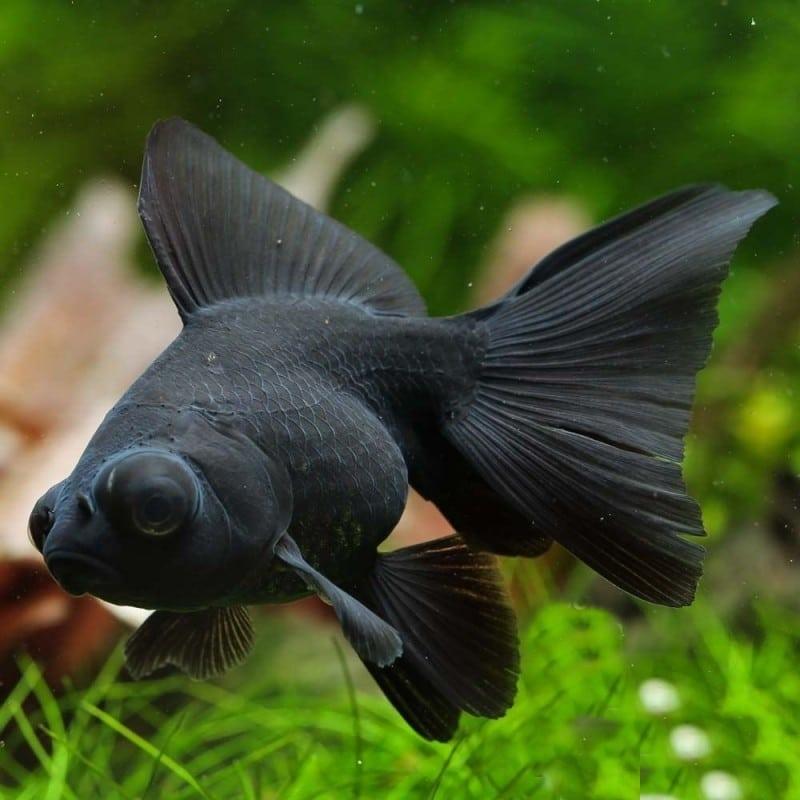 le poisson japonais téléscope
