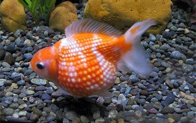 poisson-rouge-perle