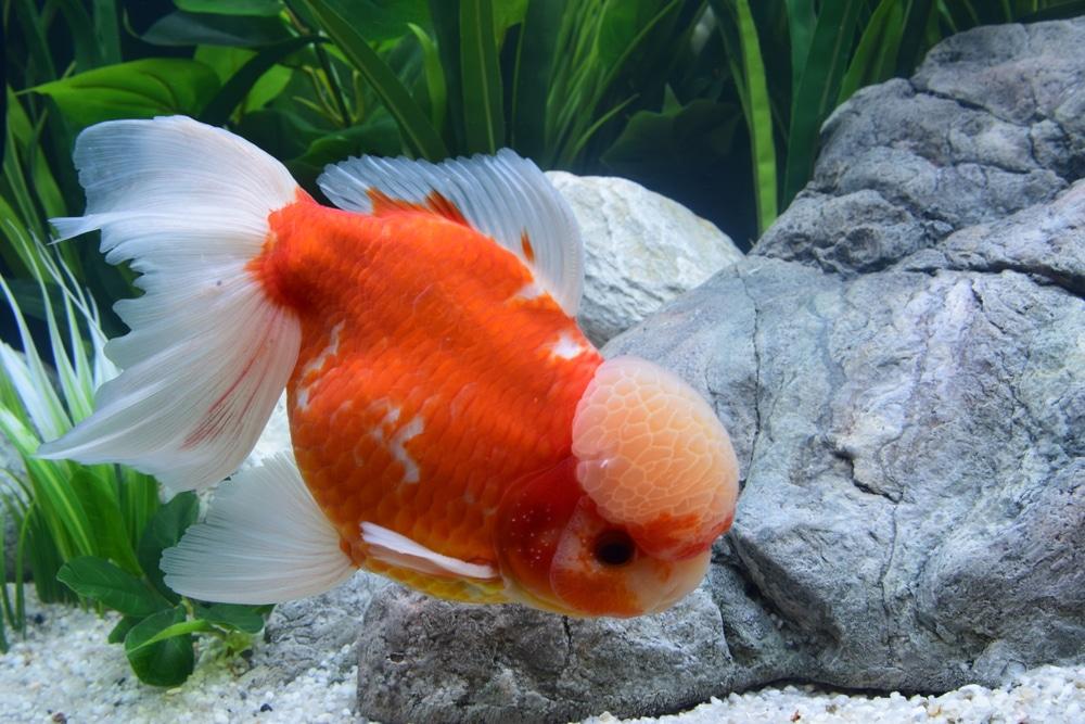 poisson-tête de lion