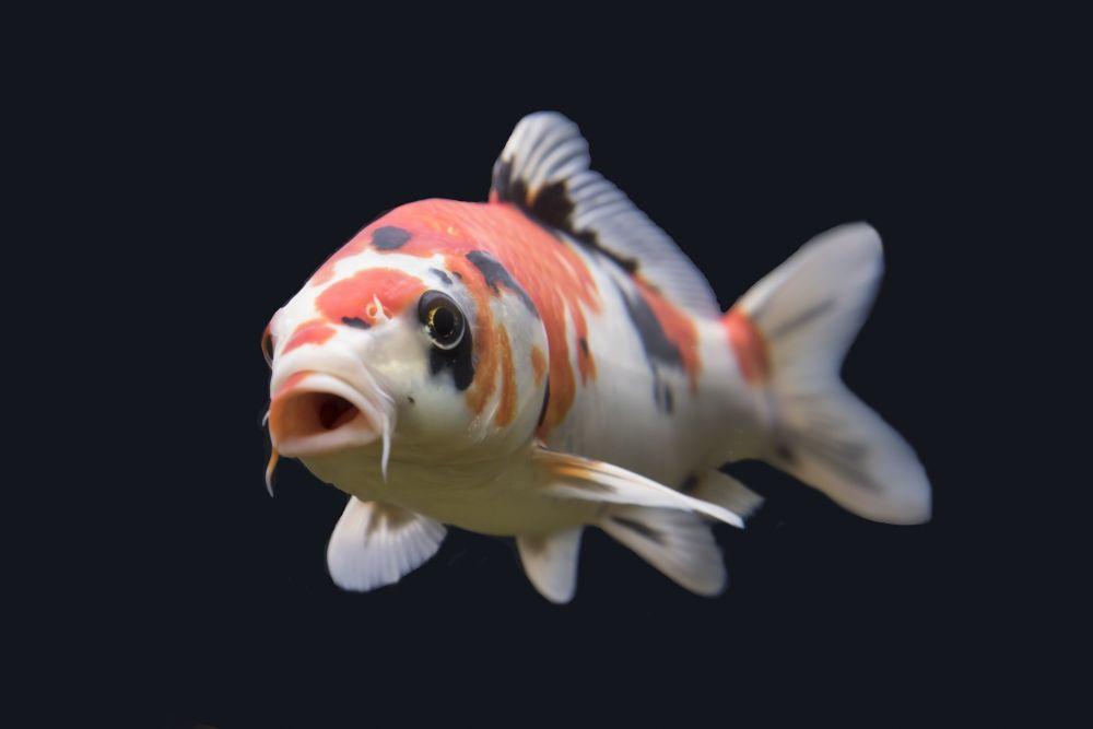 poissons japonais karpe koi