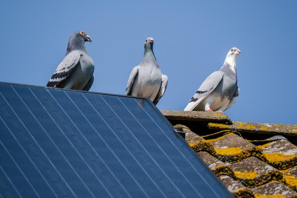se débarasser des pigeons