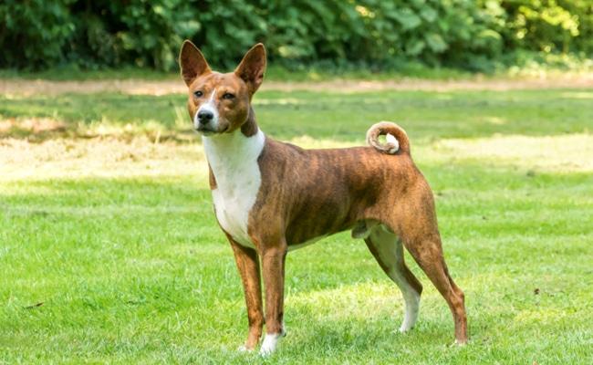 Le Basenji chien qui n'aboit pas