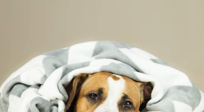 Quelle nourriture donner à un chien qui a des problèmes de foie