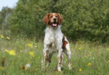 Top 10 des races de chien qui n'aboient pas