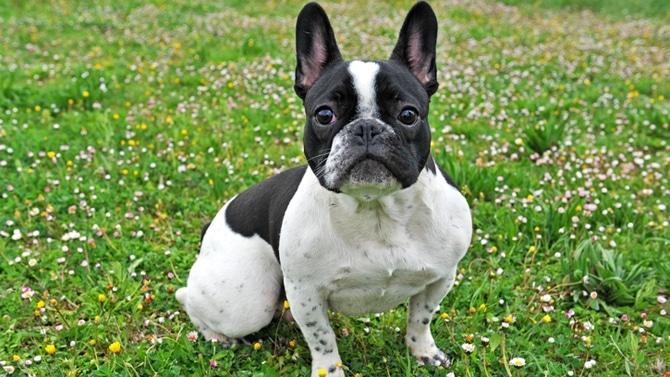 chien-bouledogue-francais