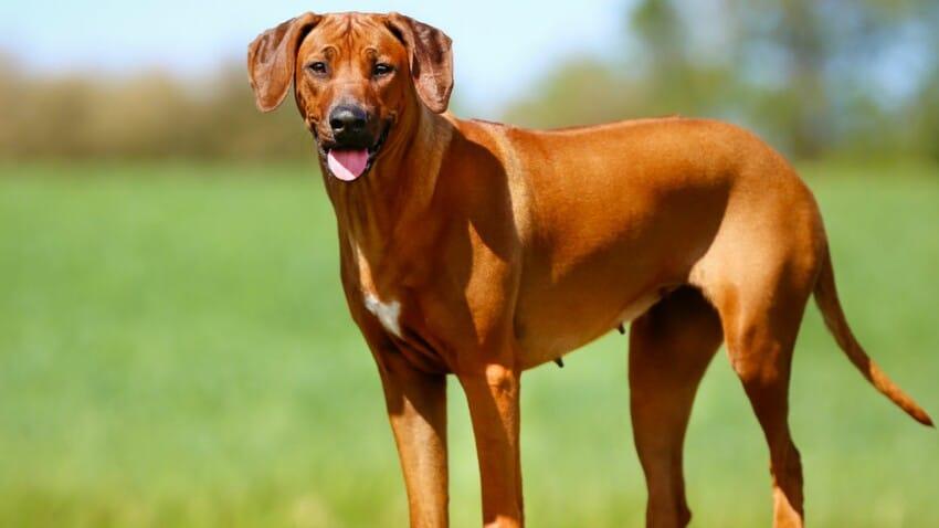 le-rhodesian-ridgeback-chien qui n aboient pas