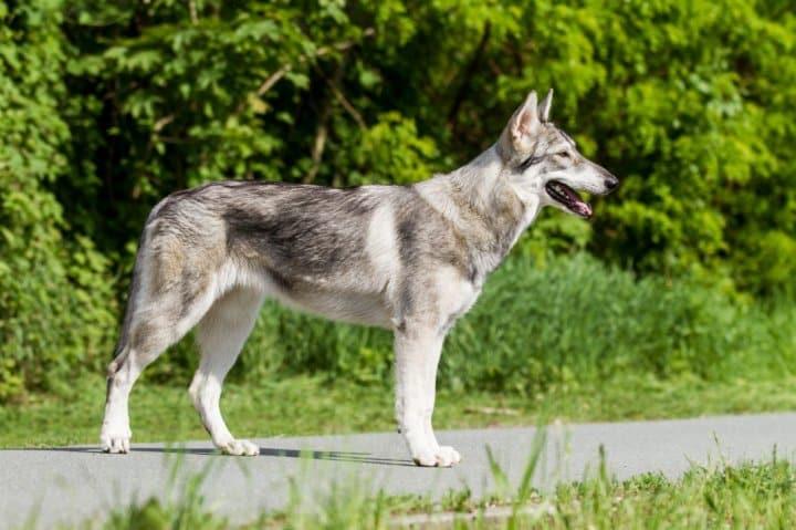 L'Inuit du Nord chien loup