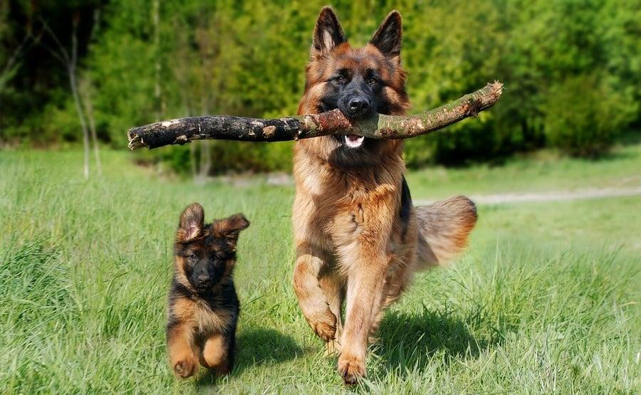 Le berger allemand chien loup