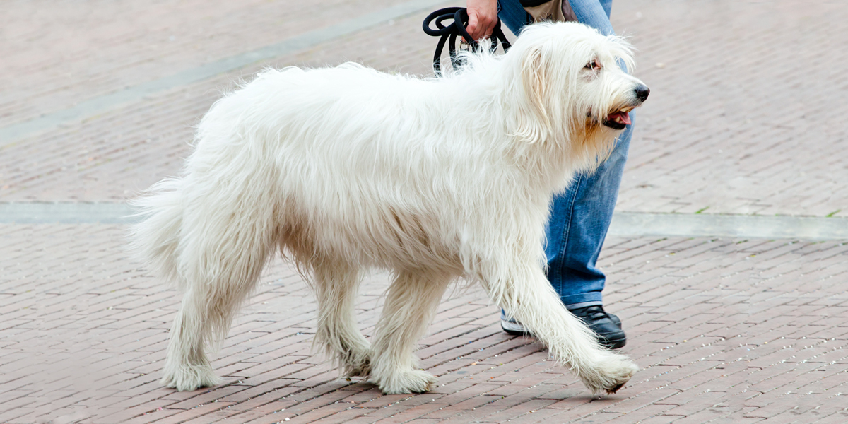 Le berger de Russie méridionale chien russe