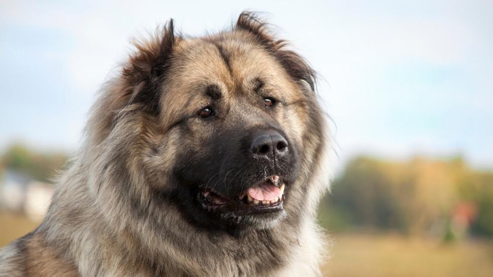 Le berger du Caucase chien russe