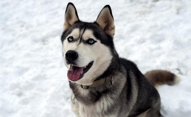 Le husky de Sibérie chien russe