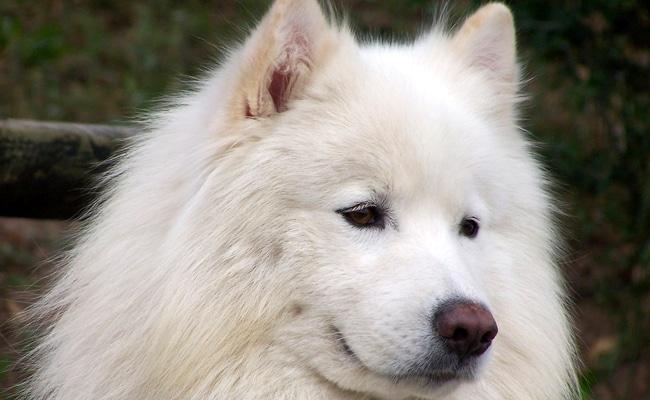 Le samoyède chien loup
