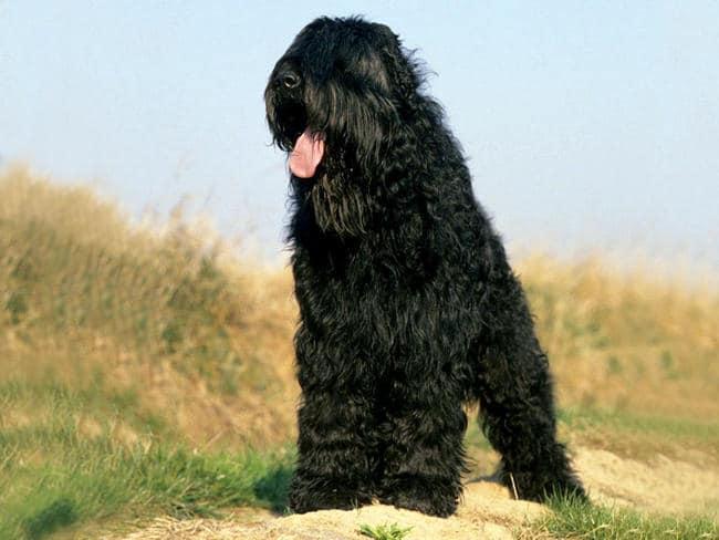 Le terrier noir chien russe