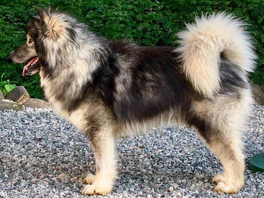 L'esquimau canadien chien loup