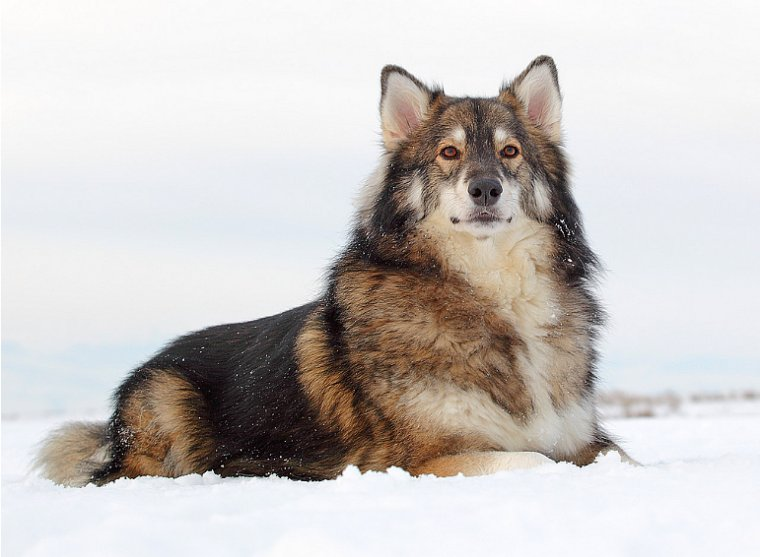 L'utonagan chien loup