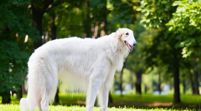 Top 10 des races de chiens russes