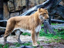 Top 12 des animaux hybrides réels et incroyables