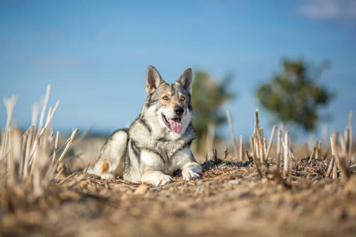 Top 12 des races de chiens qui ressemblent à un loup