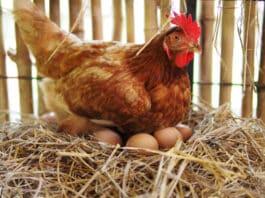 la couvaison de l'œuf de poule