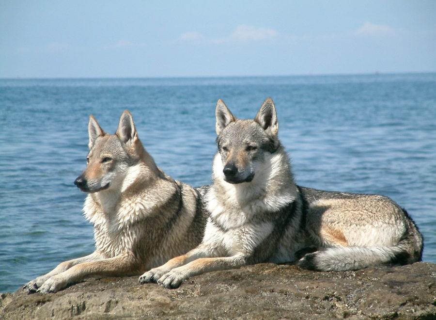 les chiens loups