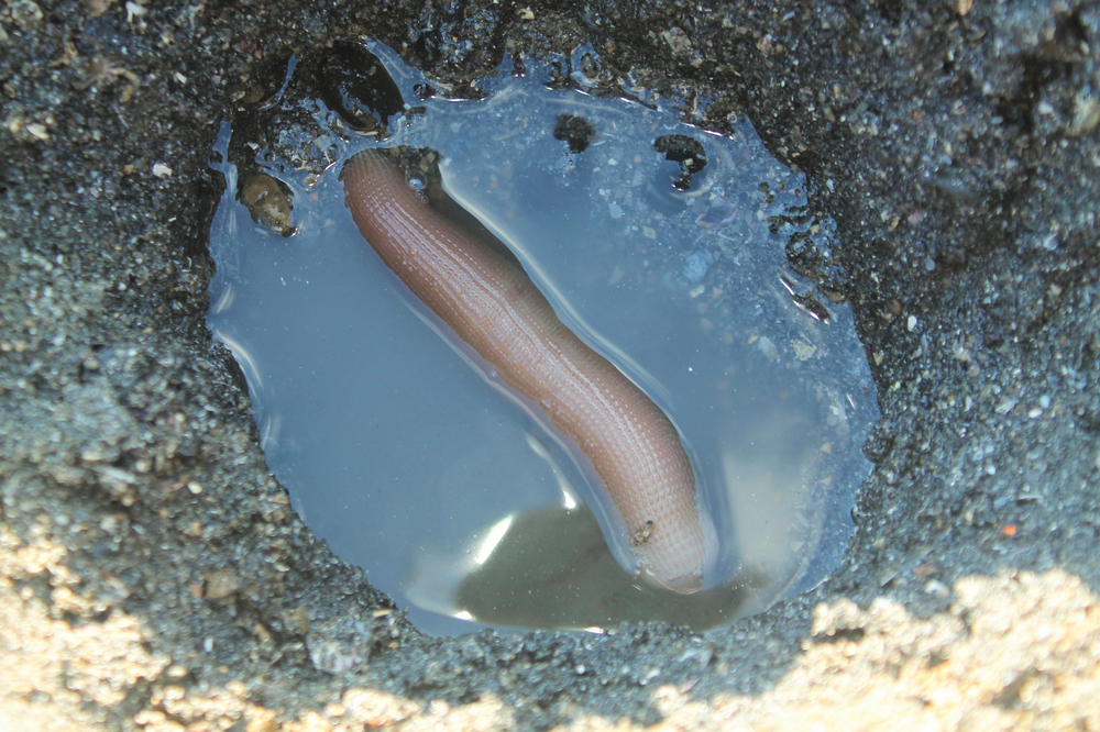 poisson pénis