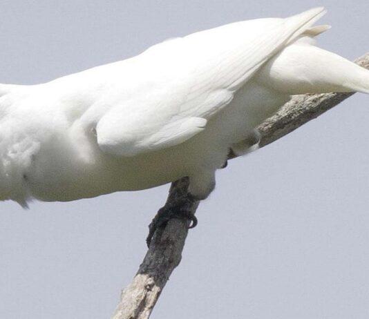 Araponga blanc tout savoir sur l'oiseau au cri très bruyant !