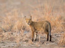 Chat des sables tout savoir sur le chat du désert