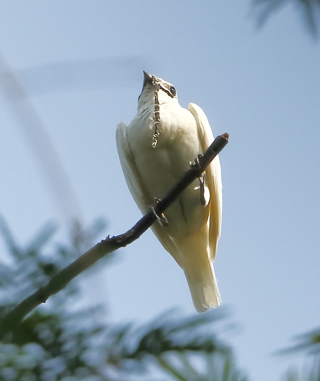 araponga blanc
