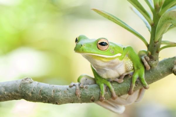 grenouille domestique