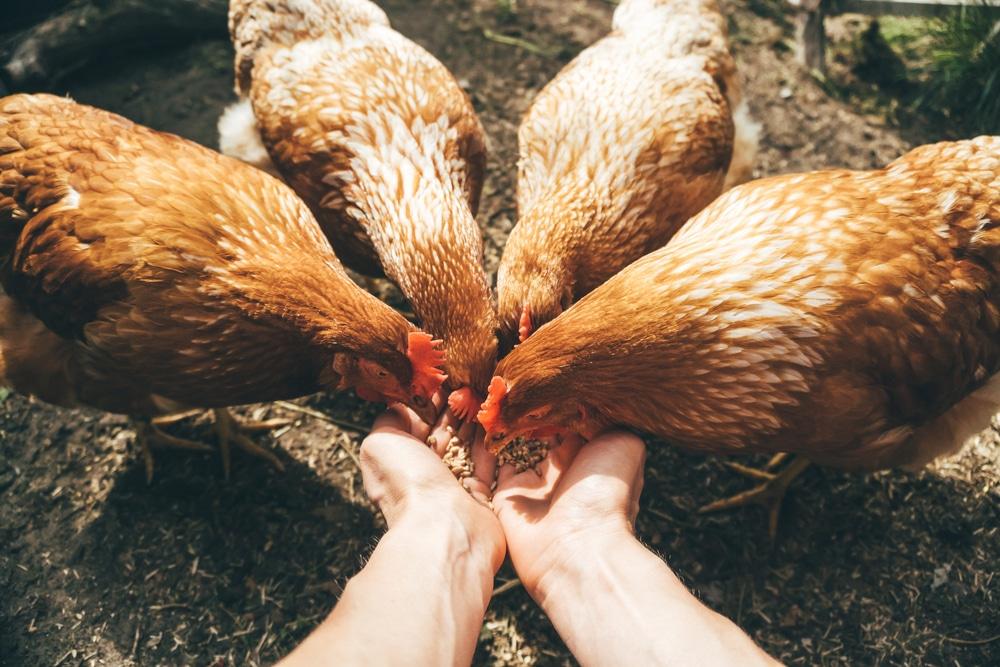 poules ne pondent plus