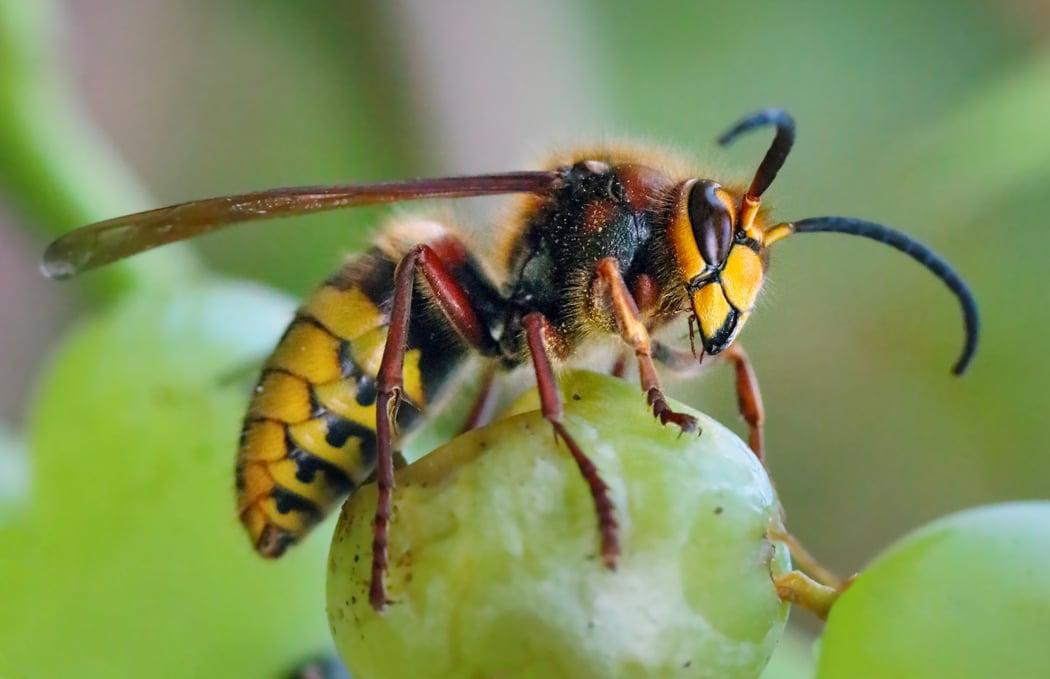 Guêpes, abeilles, frelons, quelles différences
