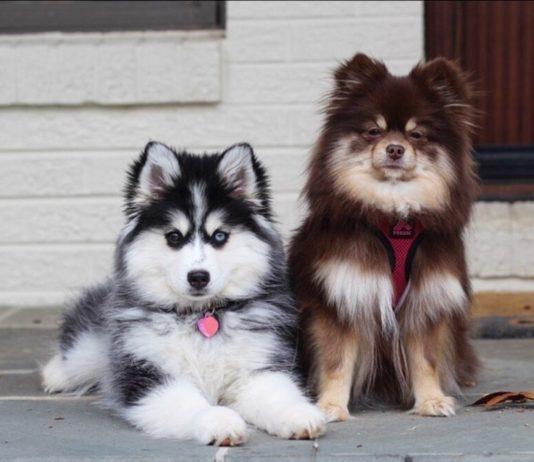 Pomsky ou husky nain tout savoir sur ce chien