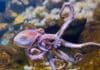 Quelles sont les différences entre un poulpe et une pieuvre