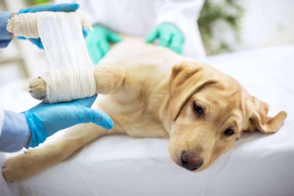 chien qui se fait soigner une patte cassée