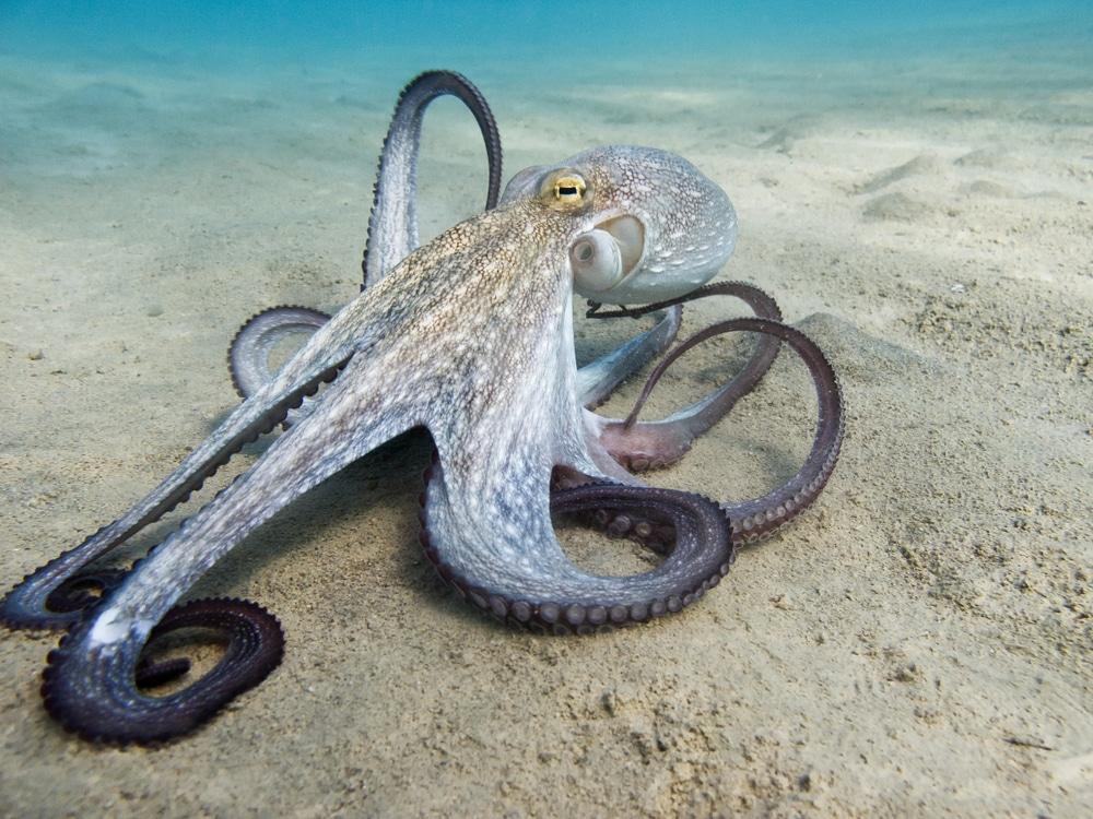 différences entre un poulpe et une pieuvre